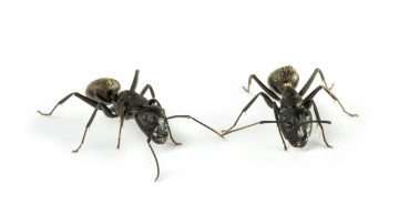 Image of two ants on a white background