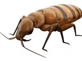Image of bedbug