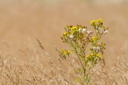 Image of Common Ragwort