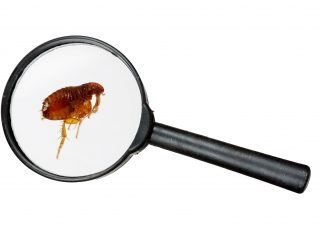 Image of a flea under a microscope on a white background
