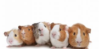 How to get rid of guinea pig smells - Home Guide Expert