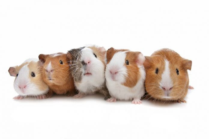 Image of five guinea pigs in a row on a white background