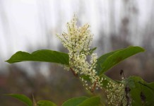 Image of Knotweed