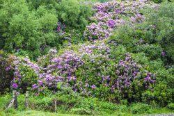 Image of Rhododendron Ponticum