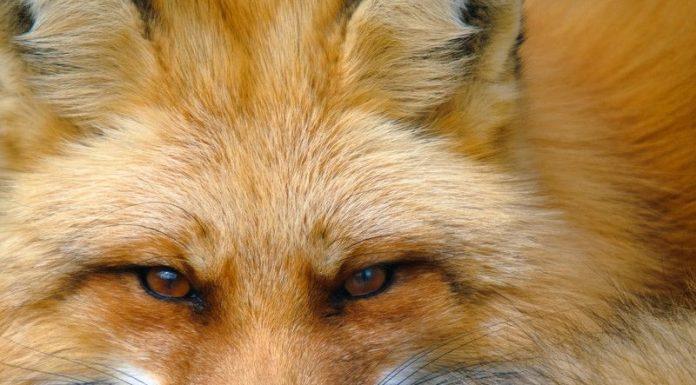 Image of a fox
