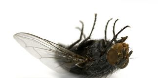 Image of a dead fly