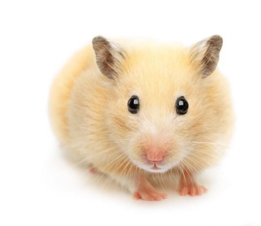 Image of a hamster on a white background